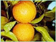 ORANGE SWEET SPAIN OIL