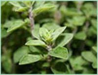 ORIGANUM CARVACROL TYPE OIL