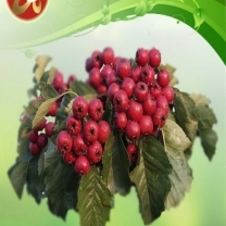 Hawthron Berry Extract
