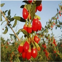 Gojiberry extract