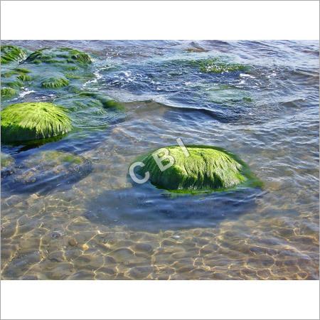 Spirulina Growing in Water
