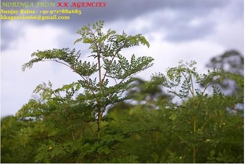 Moringa Plants
