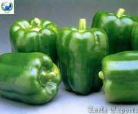 buyer of green capsicum