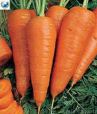 carrot in xiamen