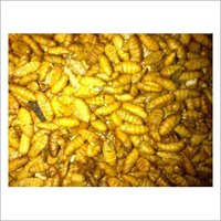 Fresh Silkworm Pupae