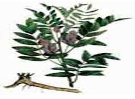 GLYCYRRHIZA GLABRA or LICORICE