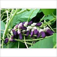 MUCUNA PRURIENS POWDER EXTRACT