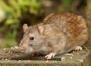 Rat Control Treatment