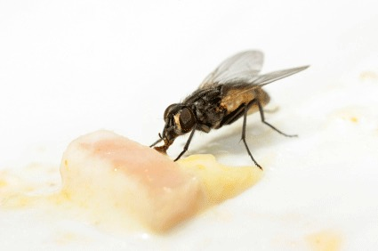 Flies Control Treatment