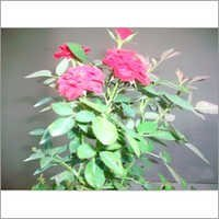 China Rose Plants
