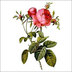 Provence Rose Plants