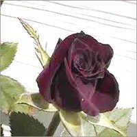 Black Lady Rose