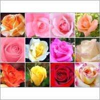 Roses Flower Plant