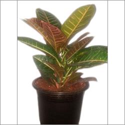 Croton Petra Indoor Plant