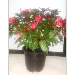 Empetion Pot Plants