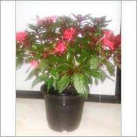 Empetion Pot Plants