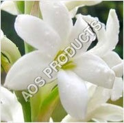 Tuberose Absolute Essential Oil