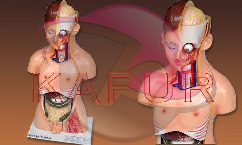 human anatomy male torso