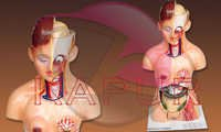 Female Human Torso Anatomy