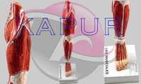 Human Leg Anatomy Models