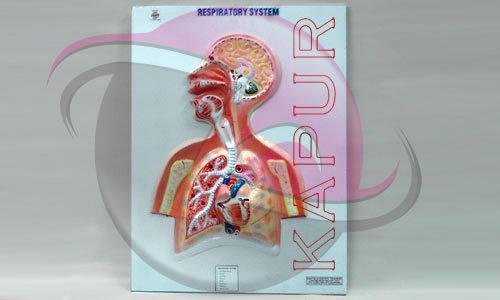 Respiratory System Anatomy Model
