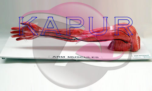 Arm Muscles Anatomy Model