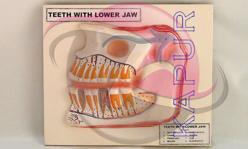 Teeth With Lower Jaw Anatomy Model