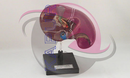 Liver Anatomy Models