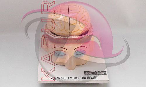 Skull With Brain Anatomy Models