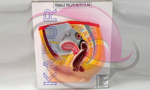 Female Pelvic Models