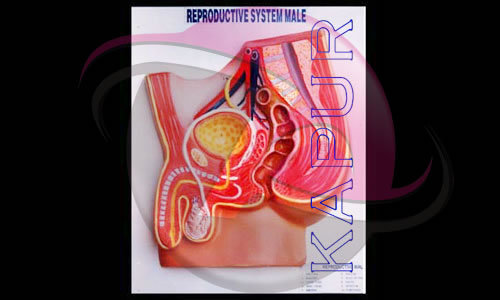Human Reproductive System Models