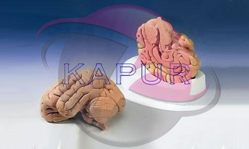 Brain 2 Parts