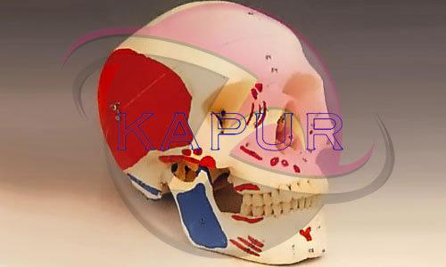 Skull Anatomy 3d