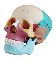 Life-Size Skull with Coloured Bones