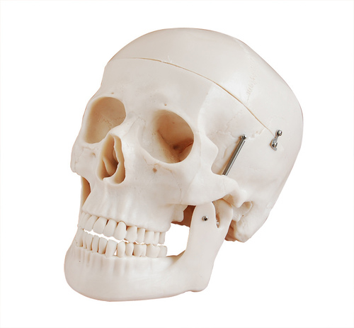 Deluxe Life-SizeSkull Style D