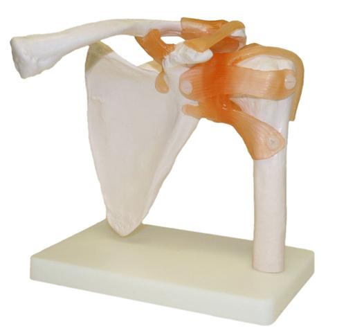 Life-Size Shoulder Joint