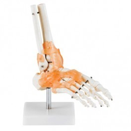 Life-Size FootJoint with Ligaments