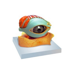 human eye with lid