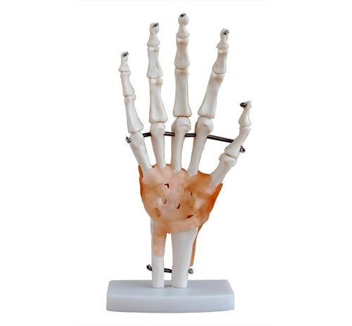 LIFE SIZE HAND JOINT WITH LIGAMENT