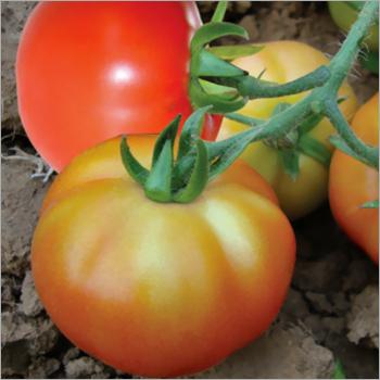 Tomato (varsha)seeds