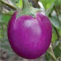 Brinjal (Rajo-524) seeds