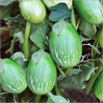 Brinjal (Dezy-65) seeds