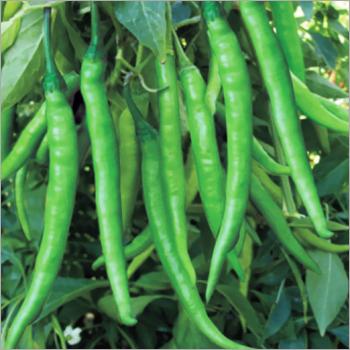 Green Chilli (Mistika) seeds