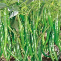 Green Chilli (Mistika) seeds