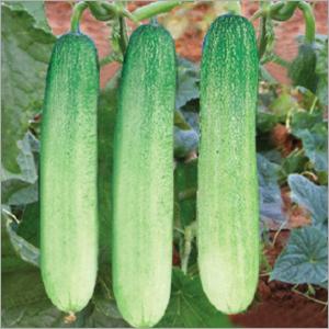 Cucumber (Himanshi) seeds