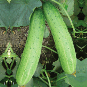Cucumber (Manish) seeds