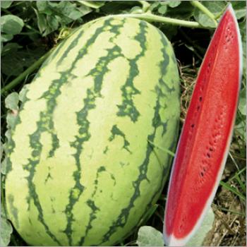 Watermelon (Rustam )seeds