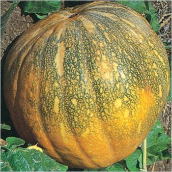 Pumpkin (Samrat) seeds
