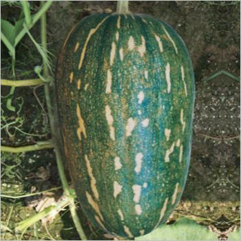 Pumpkin (Siddh) Seeds