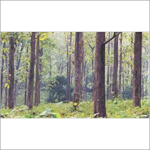 Forestry Teak Wood